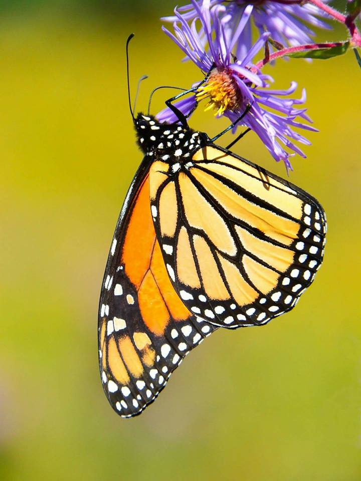 The Sin Fronteras Monarch Butterfly Project A Flight Path Without Borders