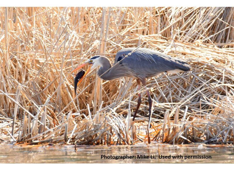 picture of a Great Blue Heron
