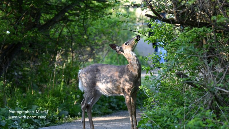 deer down a country lane