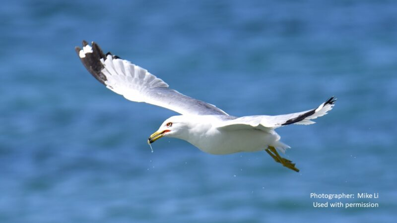 seagull gliding over water